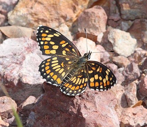 500px checkerspot, theona (chlosyne theona) (9 23 11) upper humboldt canyon, patagonia hills, scc, az  01 (6175820309)