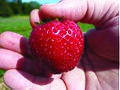 CNX Chem 20 03 strawberry.jpg