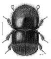 COLE Curculionidae Xyleborinus 2.png
