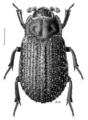 COLE Trogossitidae Trox scaber.png