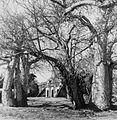 COLLECTIE TROPENMUSEUM De verlaten Kongo Moskee bij Diani Beach omringd door baobabs TMnr 20014446.jpg