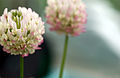 CSIRO ScienceImage 3461 White Clover Trifolium repens.jpg