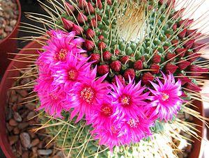 Betalain - Flowers of the cactus Mammillaria sp. contain betalains.
