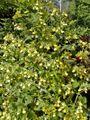 Calceolaria bilatata form.jpg