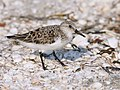 Calidris alba (adult summer), Sanibel Island, Florida.jpg
