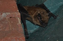 California Myotis (Myotis californicus).jpg