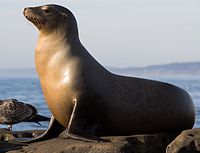 California sea lions in La Jolla (70564).jpg