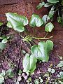 Calla palustris sl2.jpg