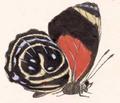 Callicore titania (female underside).png