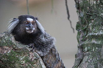 Wied's marmoset - Wied's Marmoset at the Sugarloaf Mountain in Brazil.