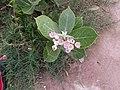 Calotropis Procera.jpg