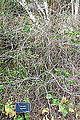 Camellia cuspidata - Mendocino Coast Botanical Gardens - DSC02318.JPG