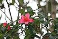 Camellia hongkongensis.JPG