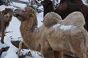 Camelus bactrianus in Zurich Zoo 5.jpg