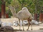 Camelus dromedarius.001 - Zoo Aquarium de Madrid.JPG