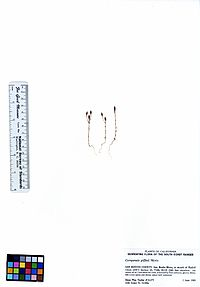 Campanula griffinii (5940137619).jpg