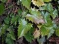 Campanula raddeana 2016-07-19 3226.jpg
