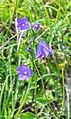 Campanula rhomboidalis at Lac de Roy (1).jpg