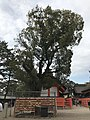 Camphor tree in Hongu Area of Sumiyoshi Grand Shrine.jpg