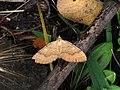 Camptogramma bilineata (Concha amarilla) (15330584496).jpg