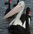 Canberra - Black Swan-Pelican+ (111261245).jpg