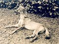 Canid shot at Matsudaira agricultural station (1910) 2.jpg
