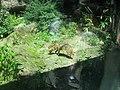 Canis aureus in Burgers' Zoo (Park).JPG