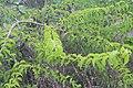 Canthium coromandelicum 2.jpg