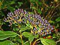 Caprifoliaceae - Viburnum tinus-1 (2).JPG