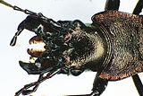Carabus irregularis heado.jpg