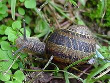 Coquille de gastéropodes dans ESCARGOT 220px-Caracol_snail_Galicia