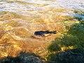 Caralapa, peixe da lagoa do Paraíso - panoramio.jpg