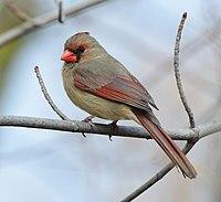 Cardinalis cardinalis f Toronto.jpg