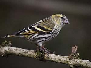 Carduelis spinus - female.jpg