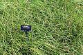 Carex flacca 'Blue Zinger' (Carex glauca) - VanDusen Botanical Garden - Vancouver, BC - DSC06733.jpg