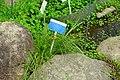 Carex leavenworthii - Urban Greening Botanical Garden - Kiba Park - Koto, Tokyo, Japan - DSC05354.jpg