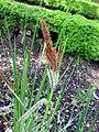 Carex riparia variegata.jpg