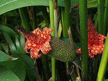 Carludovica palmata da Wikipedia