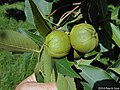 Carya ovata fruit.jpg