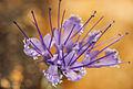 Caryopteris mongolica.JPG