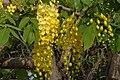Cassia fistula02.JPG
