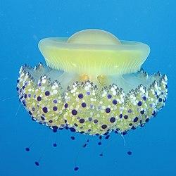 Cassiopea Jellyfish (Cotylorhiza tuberculata) - Mar Jonio, Italy.jpg
