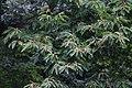 Castanea mollissima, Hangzhou Botanical Garden 2018.06.03 15-38-22.jpg