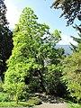 Catalpa bignonioides (Samoens).jpg