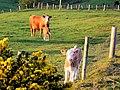 Cattle Farming, Isle of Cumbrae - geograph.org.uk - 426974.jpg