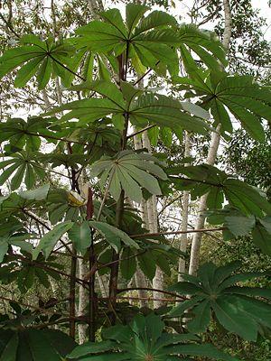 Cecropia - Red Cecropia, Cecropia glaziovii