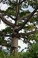 Ceiba (Ceiba pentandra) (14550008361).jpg