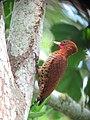Celeus loricatus Carpintero canelo Cinnamon Woodpecker (male) (12180115353).jpg