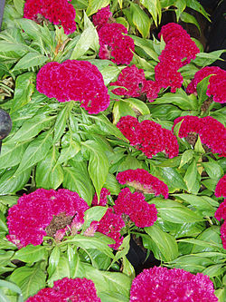 definition of celosia
