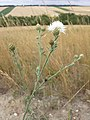 Centaurea stoebe sl10.jpg